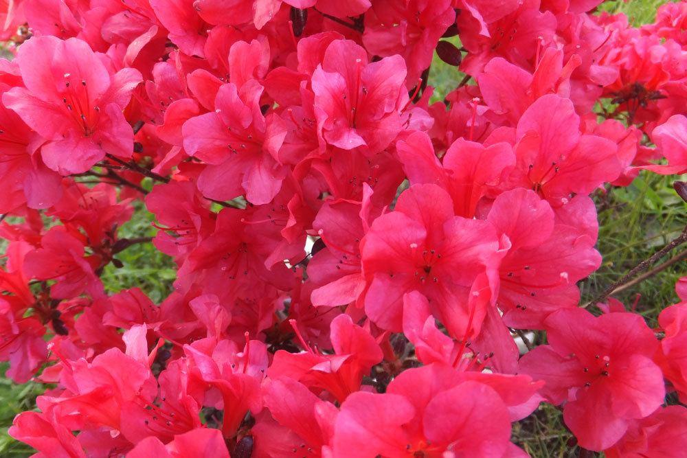 Rhododendron mit pinken Blüten