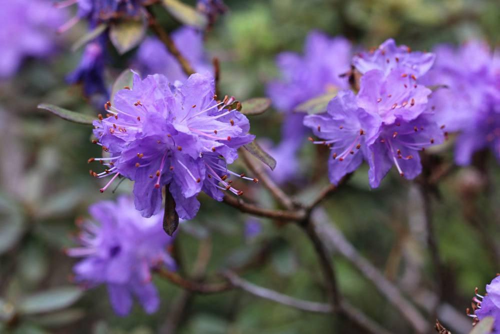 Rhododendron mit lilafarbenen Blüten