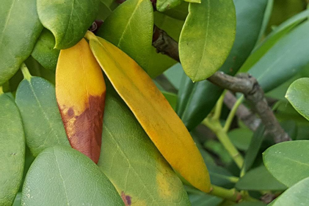 Rhododendron bekommt gelbe Blätter braune Flecken schnelle Hilfe