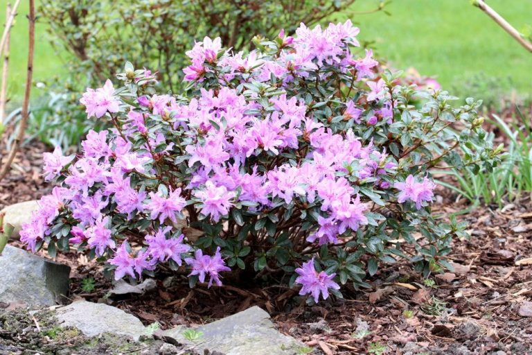 ist Rhododendron giftig