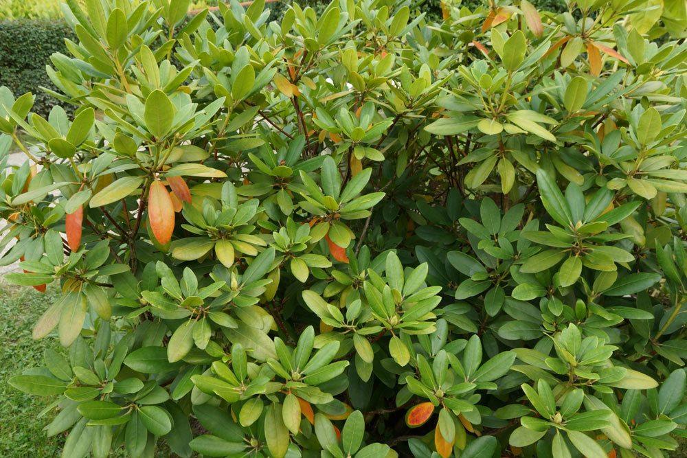 rhododendron krankheiten von a z blattkrankheiten pilze