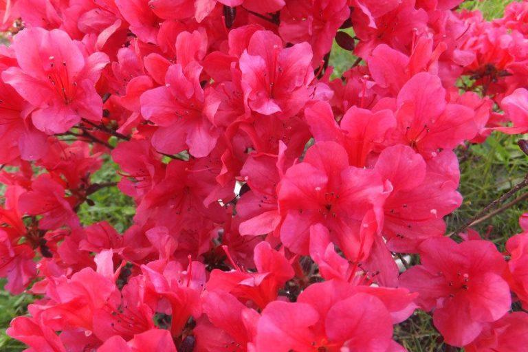 Rhododendron richtig pflegen