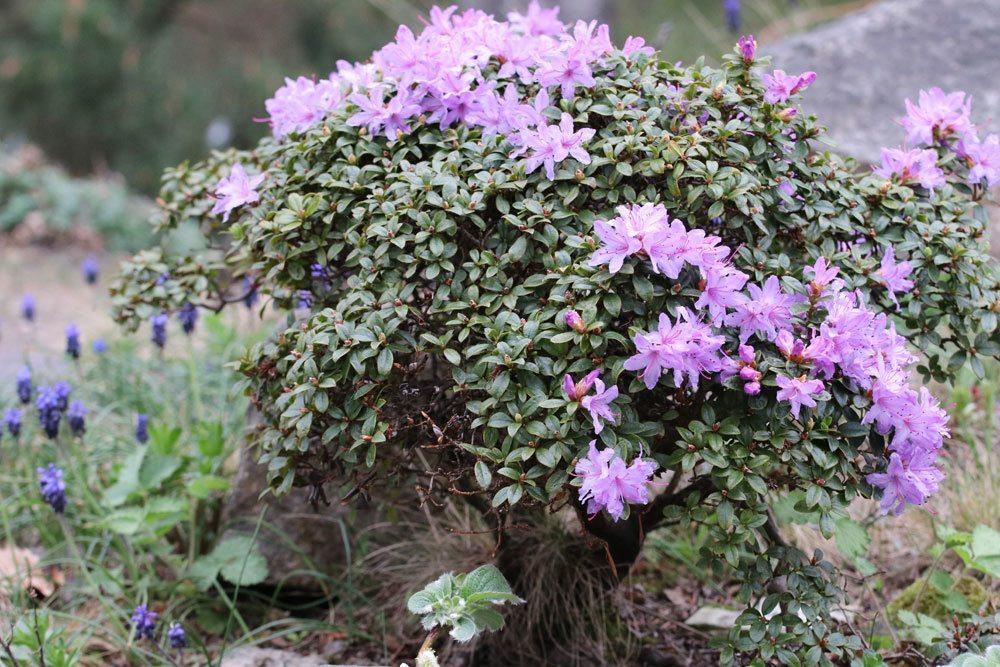 Rhododendron ist in allen Pflanzenteilen giftig