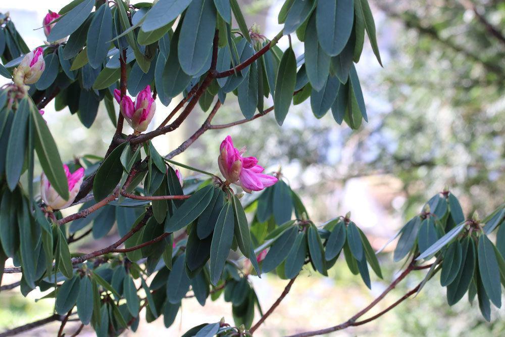 Rhododendron an den richtigen Standort umpflanzen