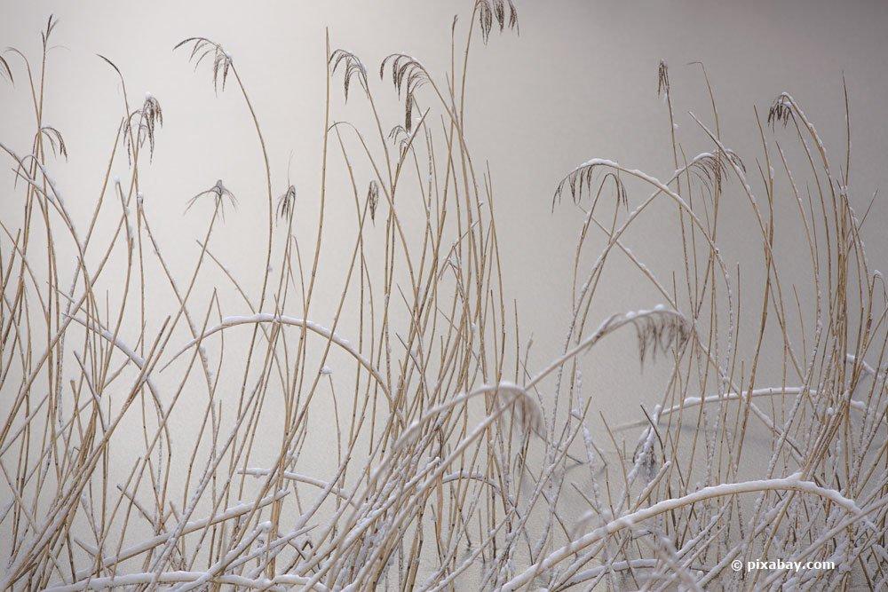 Schilfgras ist in der Regel winterhart