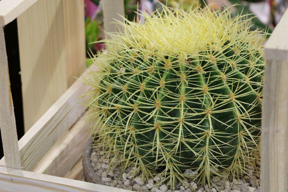 schwiegermutterstuhl goldkugelkaktus echinocactus grusonii pflege. Black Bedroom Furniture Sets. Home Design Ideas