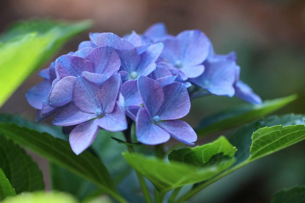 Hortensien enthalten toxische Stoffe
