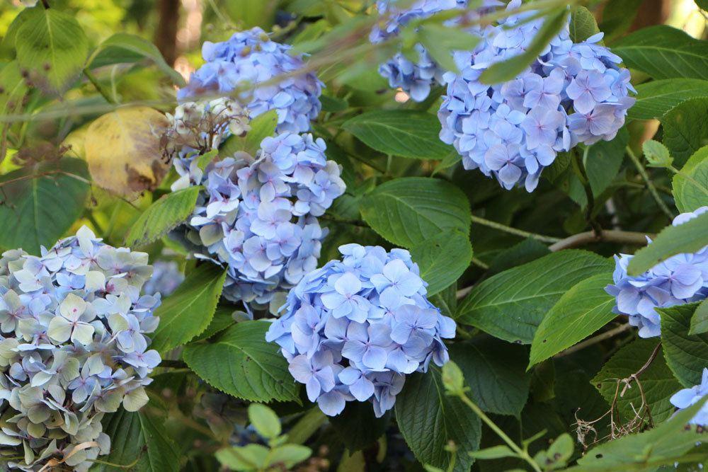 Sind Hortensien Giftig? Gefahren Für Menschen Und Tiere