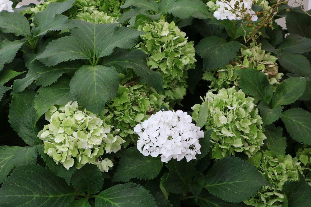 sind hortensien giftig hortensien sind sie giftig giftpflanzen in unserer umgebung h tten sie. Black Bedroom Furniture Sets. Home Design Ideas