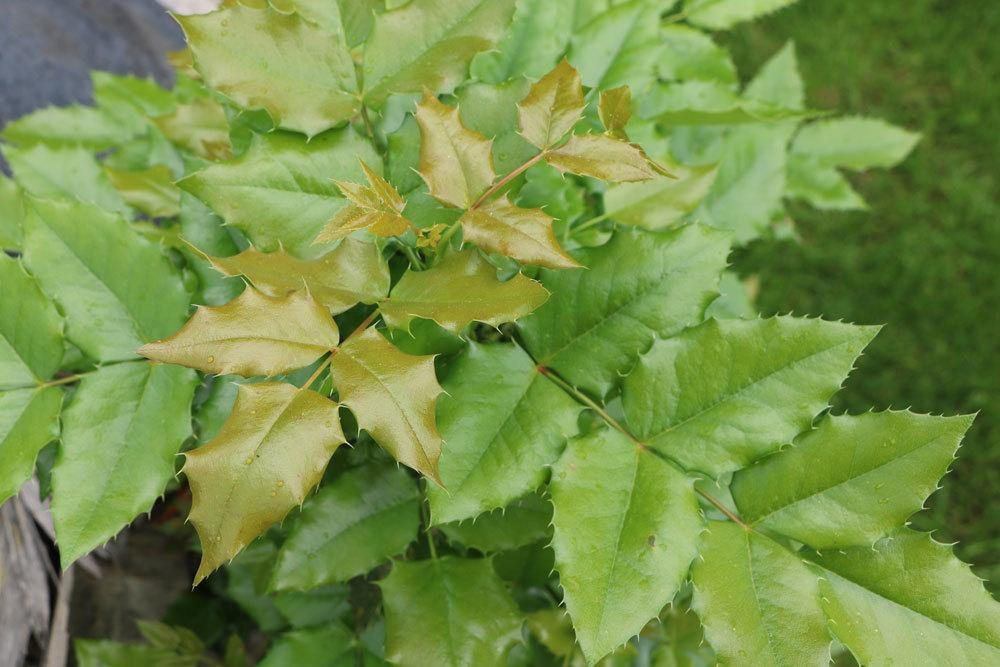 Mahonien haben immergrüne Blätter