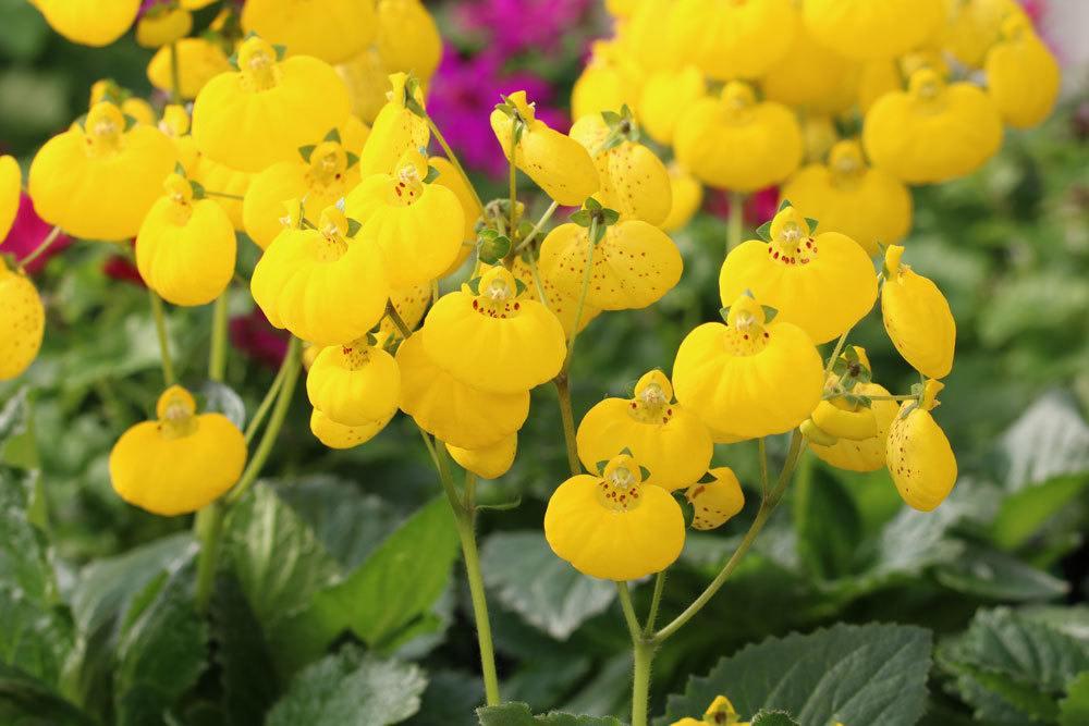 Pantoffelblume lässt sich auch als Zimmerpflanze halten