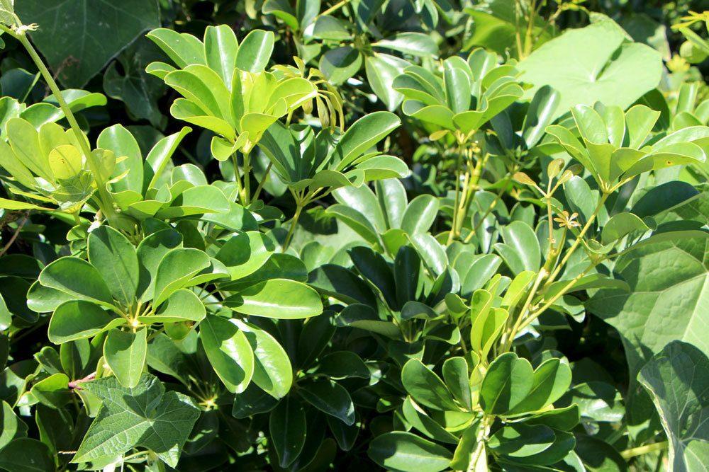 Schefflera wird auch Lackblatt genannt