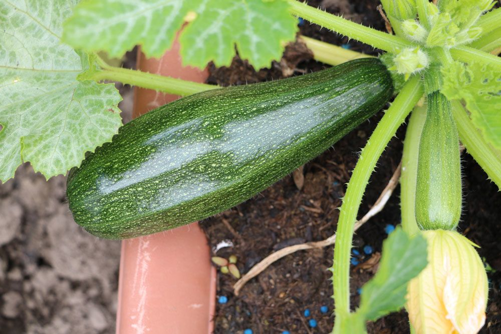 Zucchini ist ein Kürbisgewächs