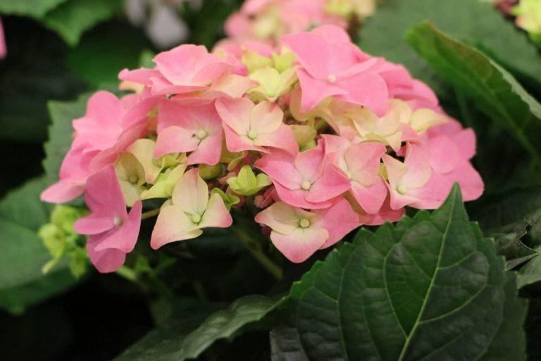 Bauernhortensie ideal für einen Blumengarten
