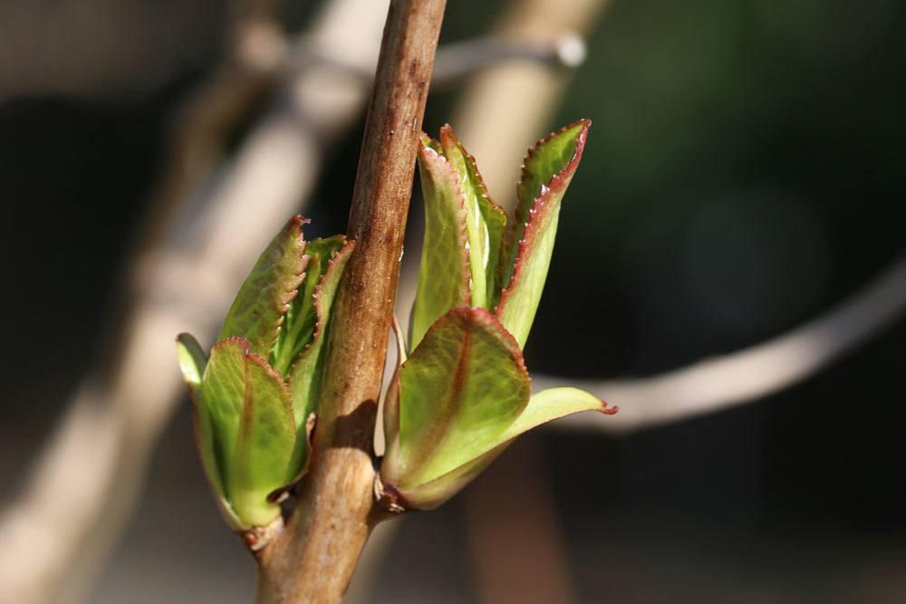 Gartenhortensie treibt neu am Zweig aus
