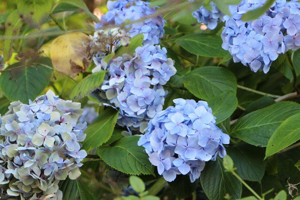 verwelkte Blüten an Bauerhortensien regelmäßig entfernen