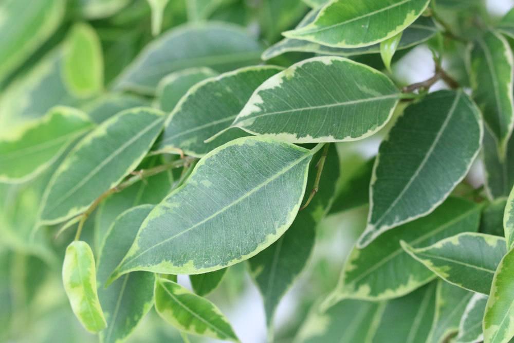 Ficus Benjamini kann an Blattverlust leiden