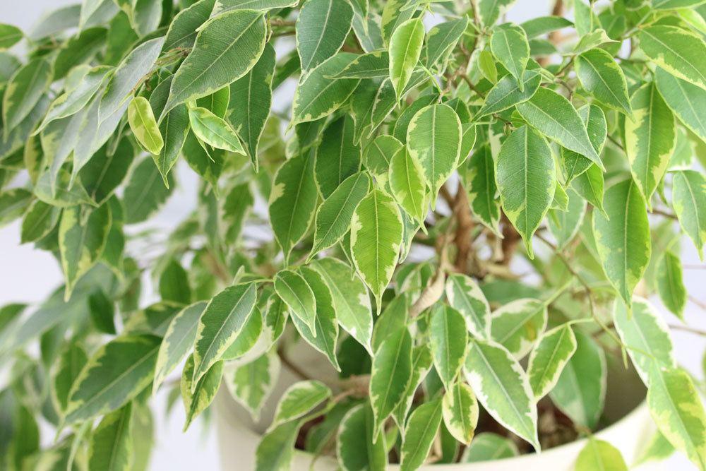 Birkenfeige kann durch verschiedene Ursachen Blätter verlieren