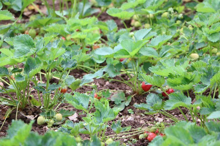 Erdbeer-Pflanzen im Gartenbeet