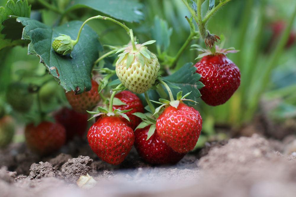 Erdbeeren sind sehr beliebte Früchte