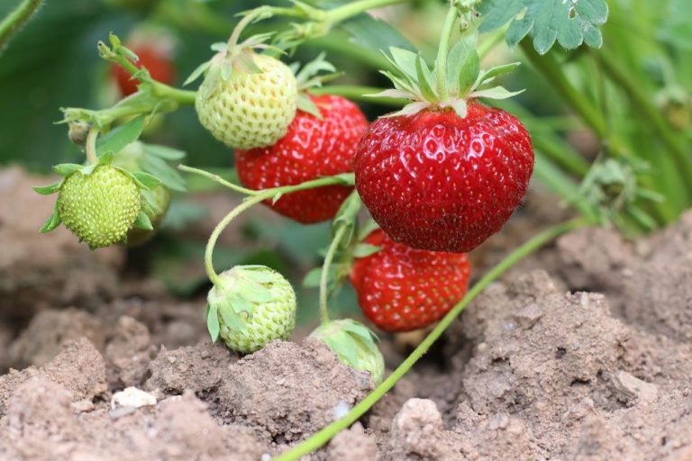 Erdbeeren sind sie Obst, Frucht oder Gemüse