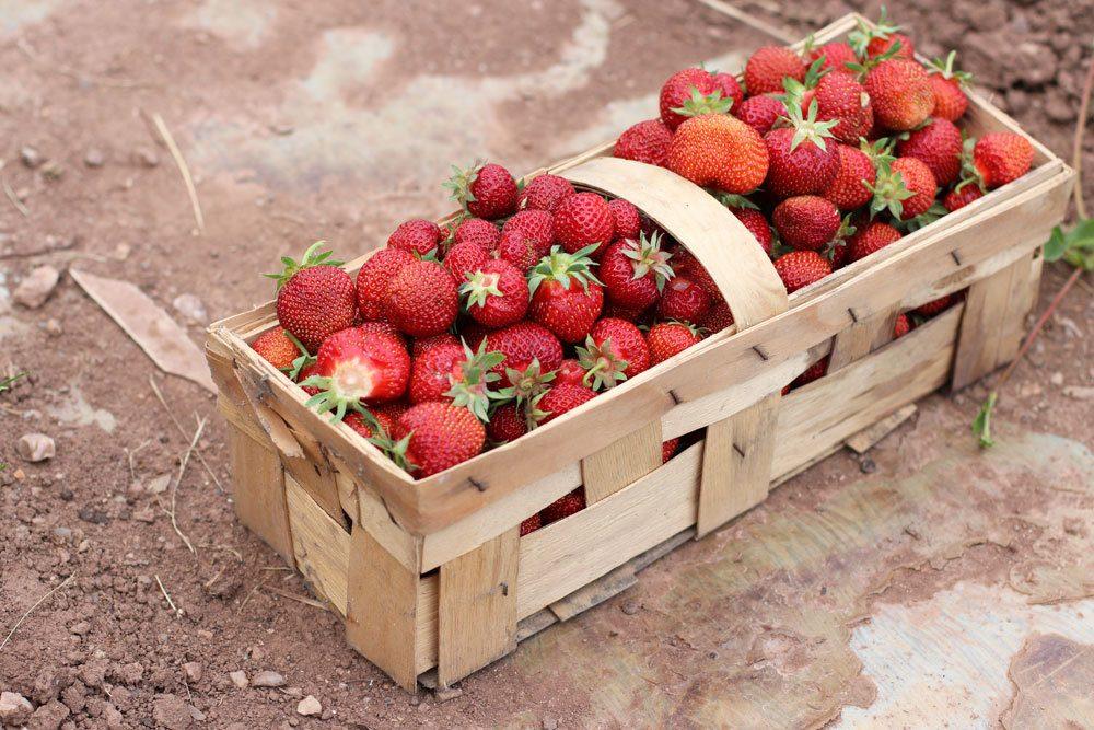 gepflückte Erdbeeren im Körbchen