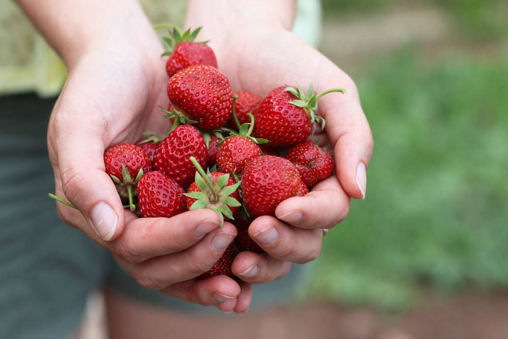 Erdbeeren sind sehr schmackhafte Beerenfrüchte