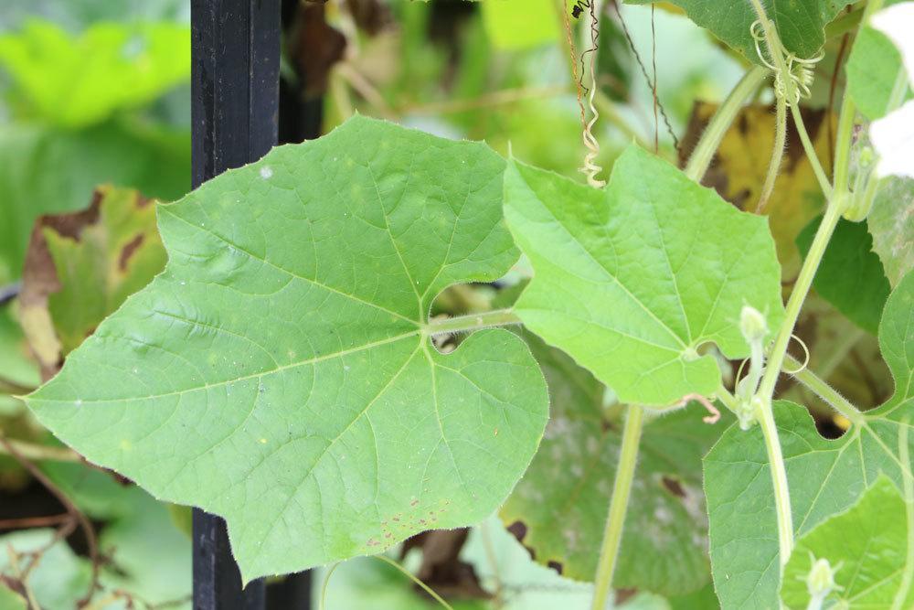 Lagenaria siceraria mit seinen saftig grünen Blättern