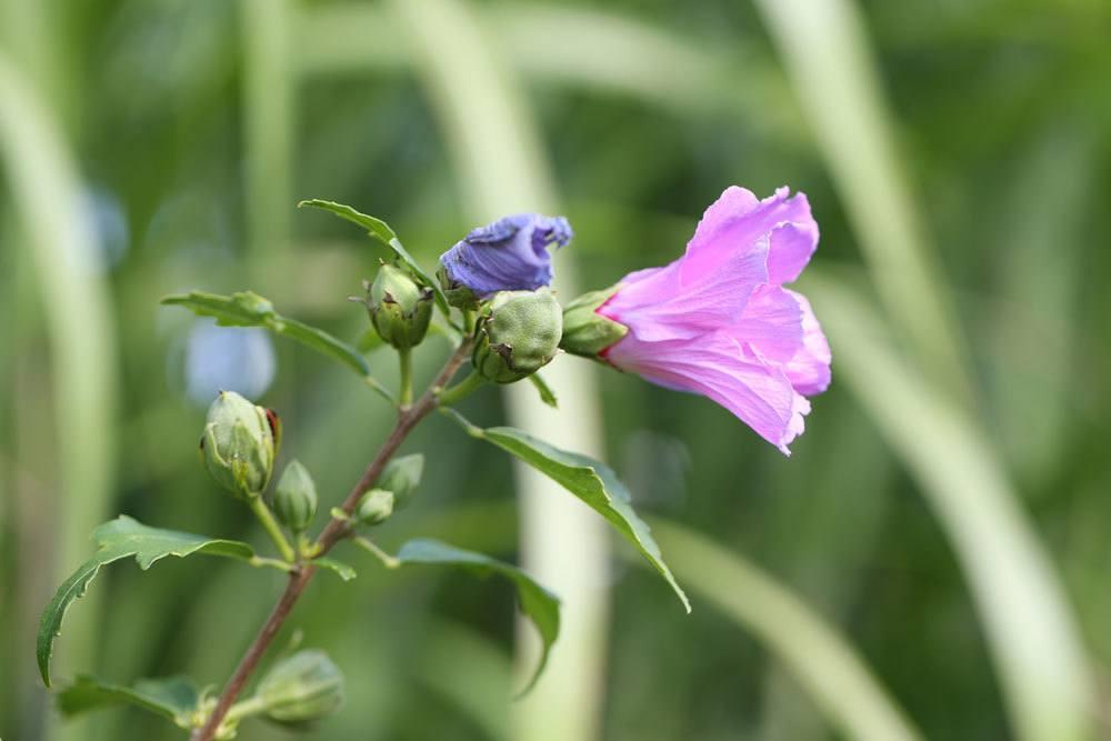 Hibiskus mit geschlossenen Blütenknospen