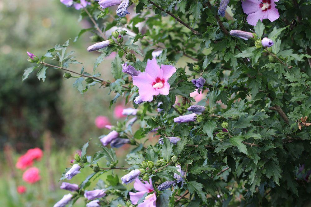 Hibiskus-Strauch im Garten