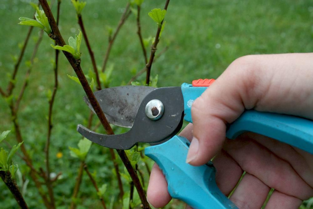 Hibiskus mit scharfer Gartenschere zurückschneiden