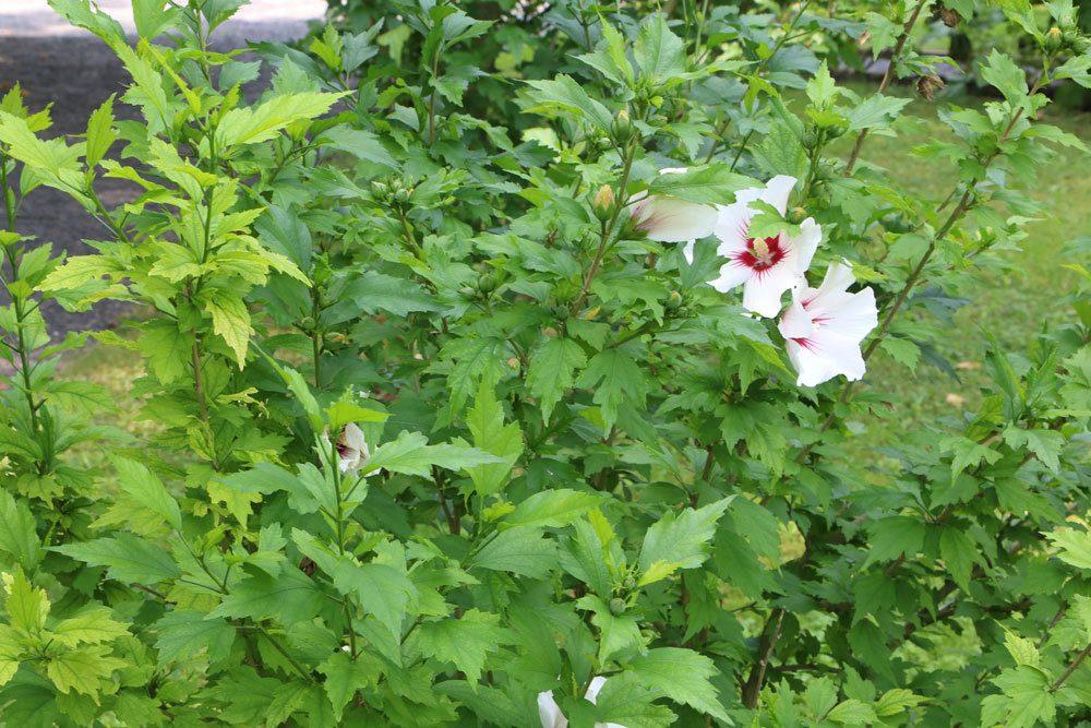 Berühmt Hibiskus schneiden - so gelingt der Rückschnitt des Gartenhibiskus KT24