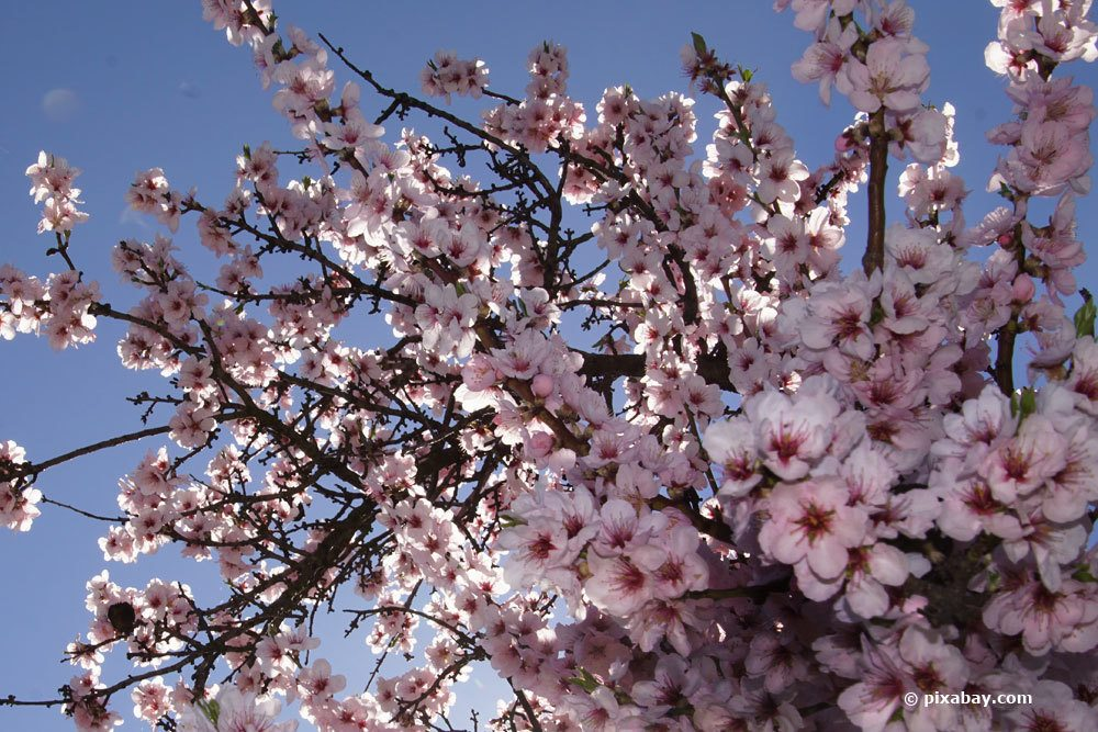 Mandelbäume gibt es in winterharten Sorten