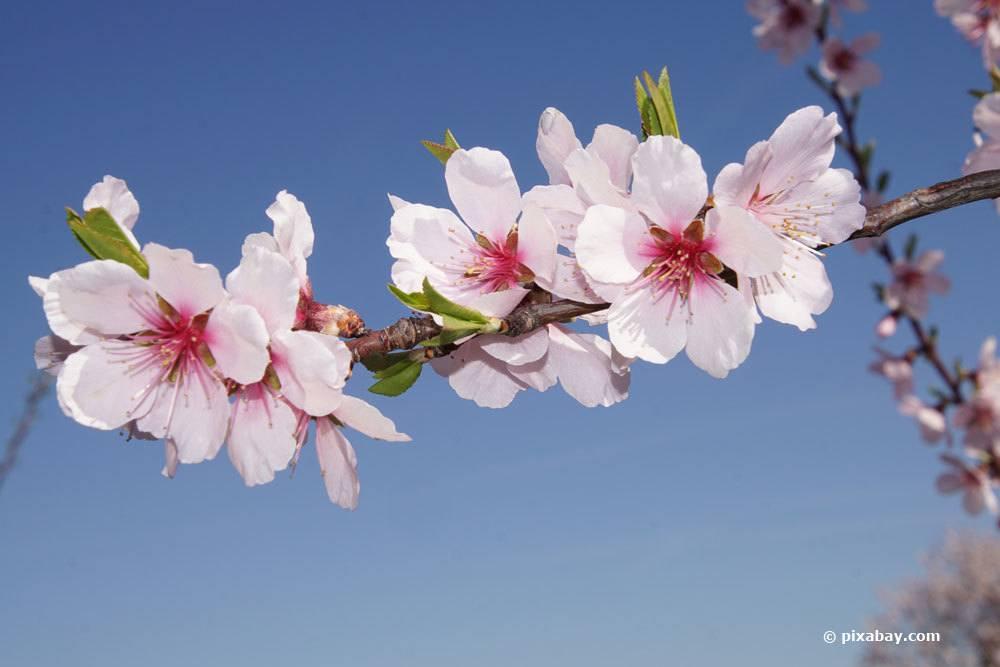 Mandelbaum hat einen guten Platz in windgeschützten Vorgärten
