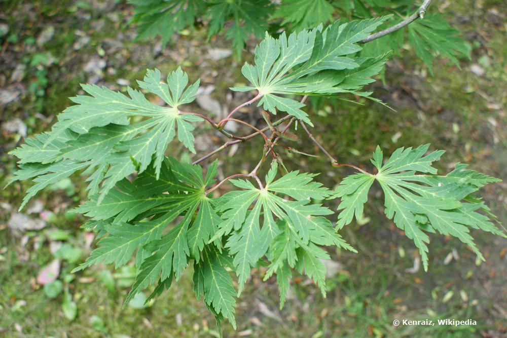 Acer japonicum Aconitifolium mit kurzem Stamm