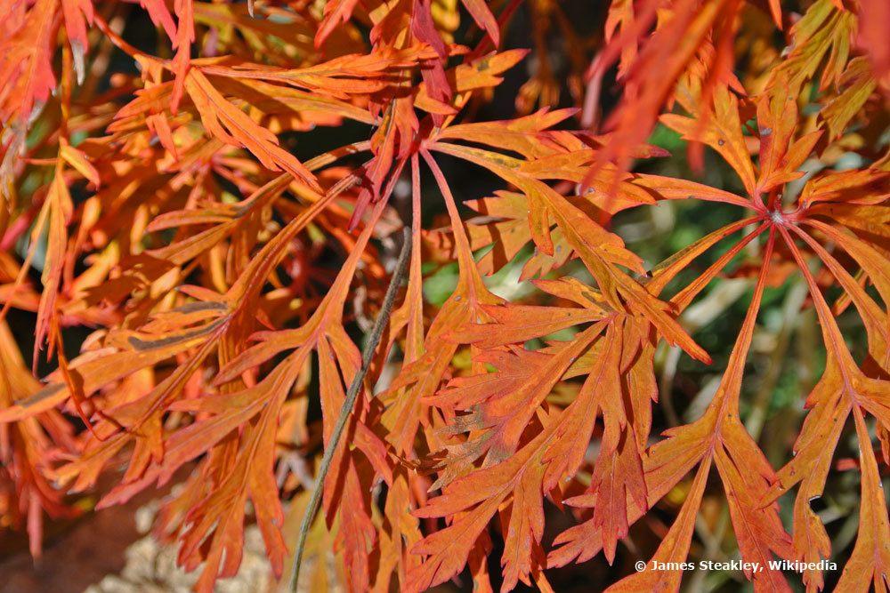 Acer japonicum Green Cascade mit rotem Laub