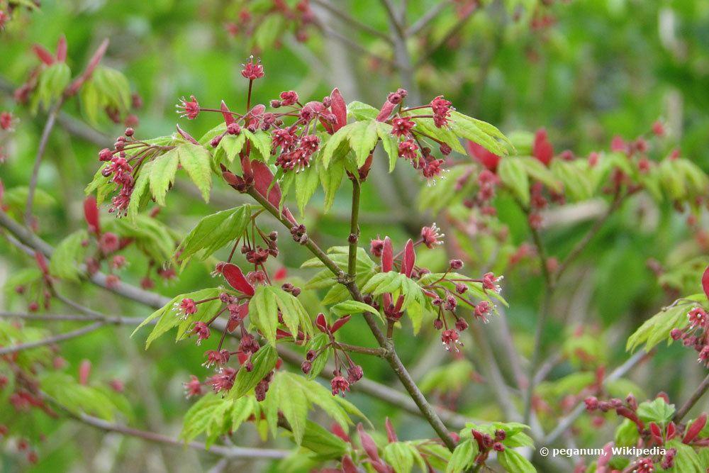 Japanischer Ahorn, Acer japonicum 'Vitifolium'