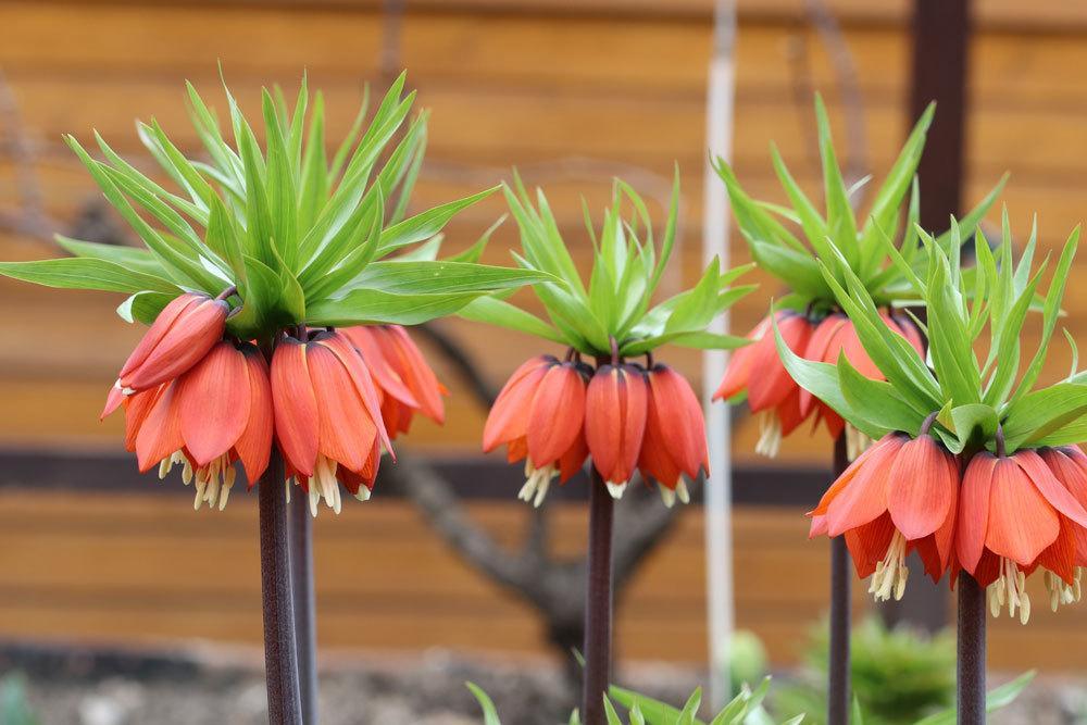 Fritillaria imperialis mit ziegelroter Blütenfarbe