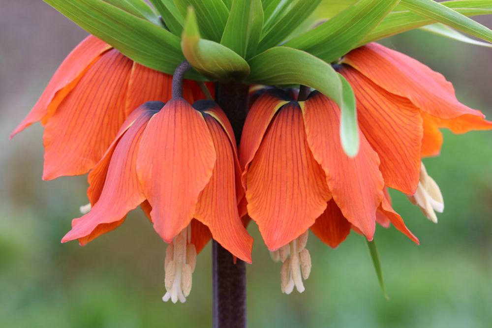 Kaiserkrone mit ihren imposanten Blüten