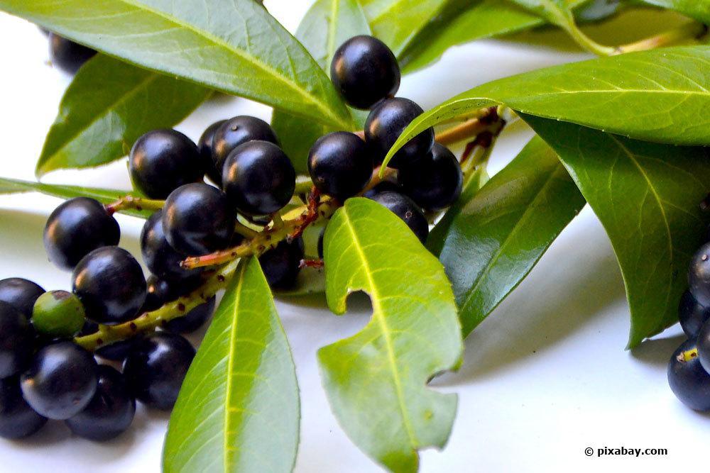 Kirschlorbeer Zweig mit schwarzen Beeren
