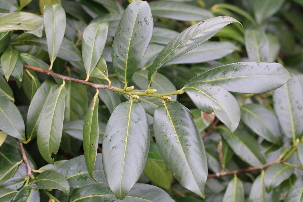 Kirschlorbeer kann braune Blätter bekommen