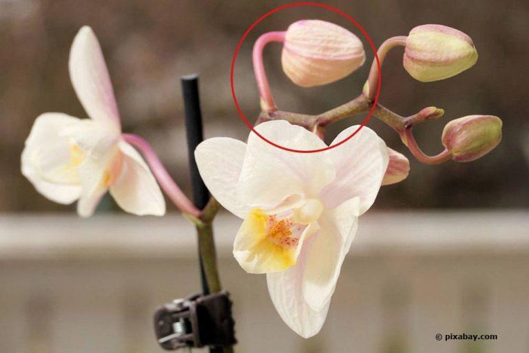 Knospen an Orchideen vertrocknen