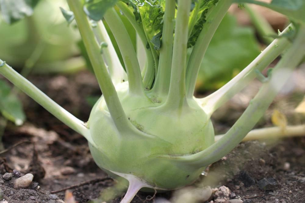 Kohlrabi ist eine unempfindliche Gemüseart