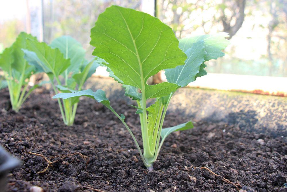 Kohlrabi durch selbst gewonnene Samen vermehren