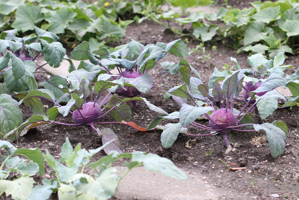 Kohlrabi selbst im Garten kultivieren