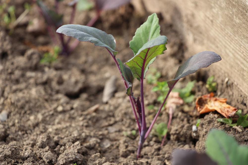 Kohlrabi anbauen und ernten