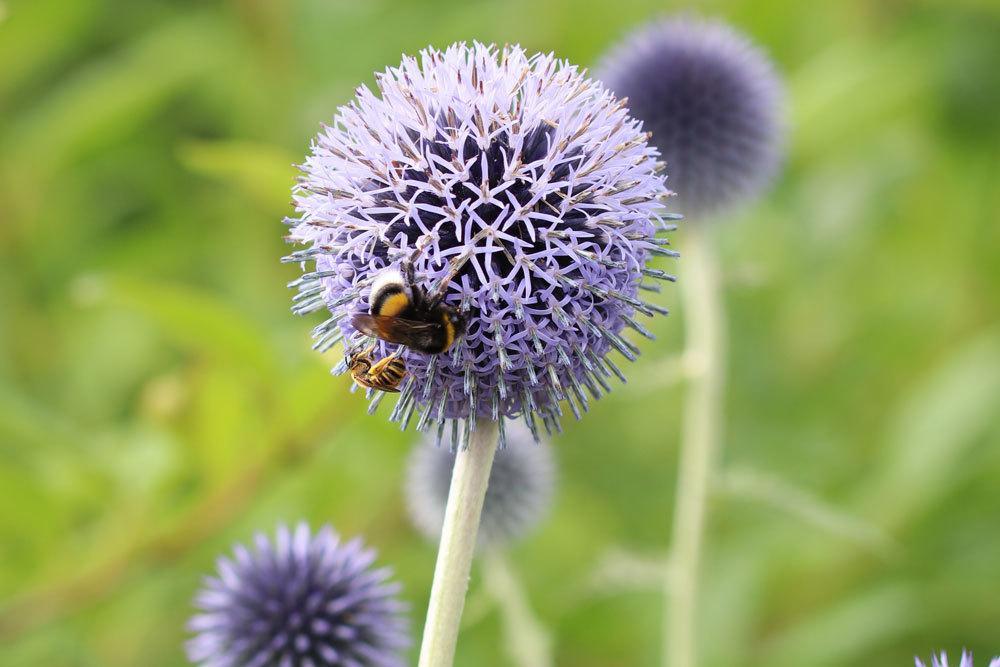 Kugeldistel lockt Bienen und Schmetterlinge an