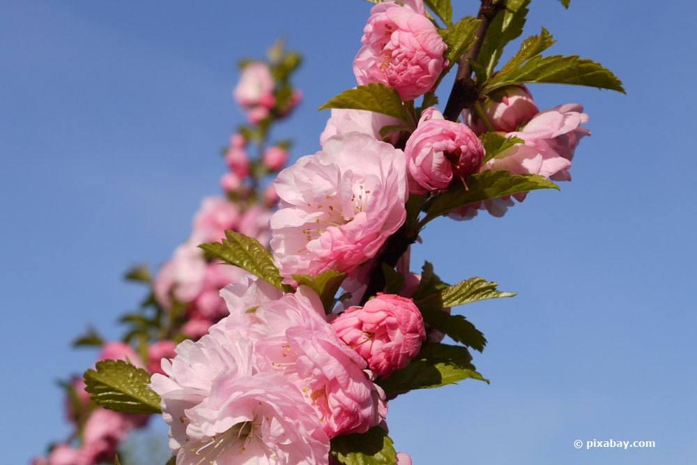 Mandelblüten am Mandelbäumchen