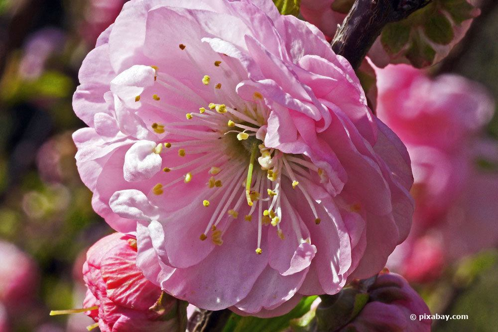Prunus triloba mit rosafarbener Blüte