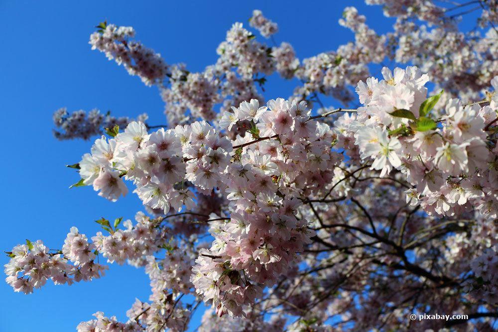 Mandelbäumchen mit weißen Blüten